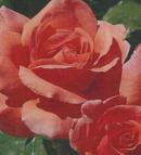roses 1 a