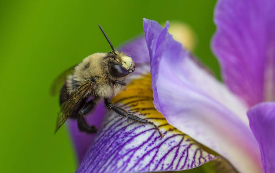 WINNER 2016 Chapel Hill Garden Club Spring Garden Tour photo contest - Kathy Swendiman of Chapel Hill - 'bee on iris'